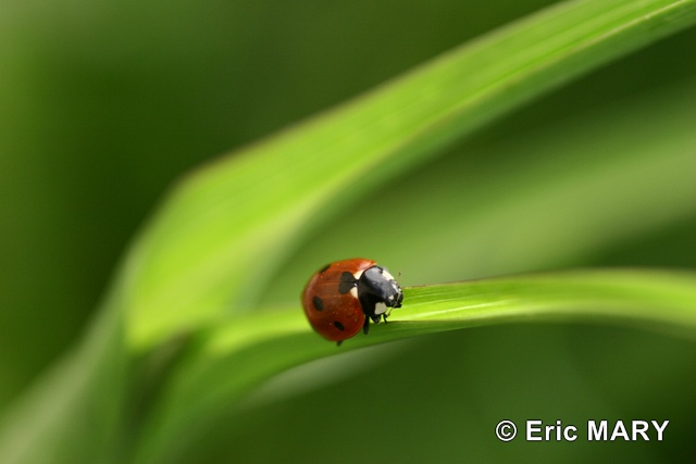 Coccinelle-a-7-points_1_Eric-MARY_HR.JPG