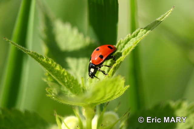 Coccinelle-a-7-points_2_Eric-MARY_HR.JPG